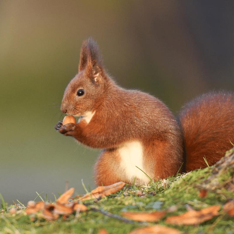 őszi erdő mókus